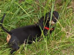 dog eating grass 1 2