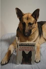 german shep photo 2